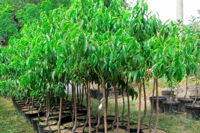 Как подобрать саженцы плодовых деревьев и кустарников?